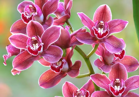 Close-up photograph of cymbidium orchids
