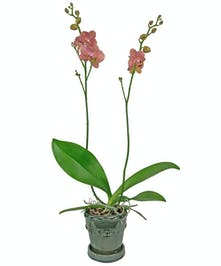 Fall in love with the beauty of the phaleanopsis orchid.