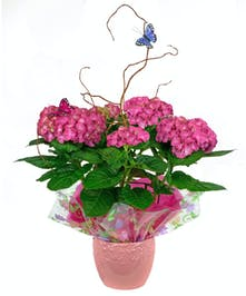 Often available in blue, pink, or white hydrangea blooms are gorgeous.