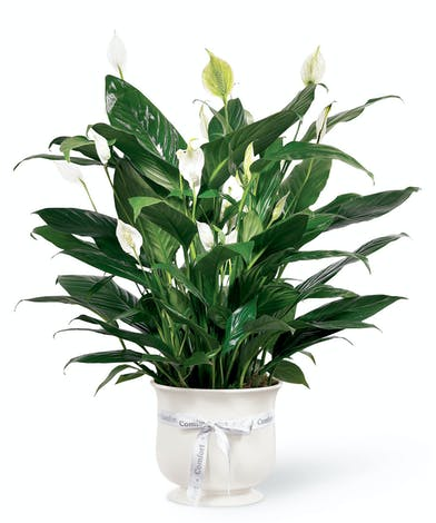 Green peace lily house plant with white flowers in a white ceramic planter tied with a white ribbon.