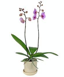 This lush tropical orchid will delight a plant lover.