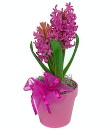 Pretty hyacinths are so fragrant and colorful.