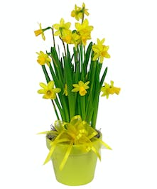 Sunny Yellow daffodils will make thier day brighter.