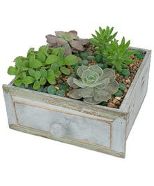 Four green succulent plants arranged in a blue wood drawer with distressed finish.