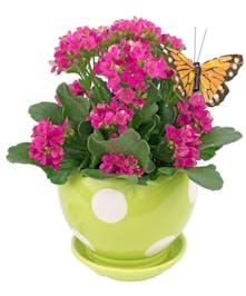 A pretty, hardy kalanchoe in a ceramic polka dot planter.