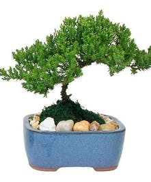 A miniature juniper is planted in a ceramic container, great for gift giving.