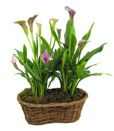 Double Calla Basket