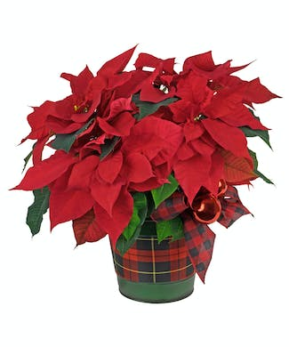 Pretty in Plaid Poinsettia