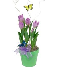 Spring Tulip Bulbs