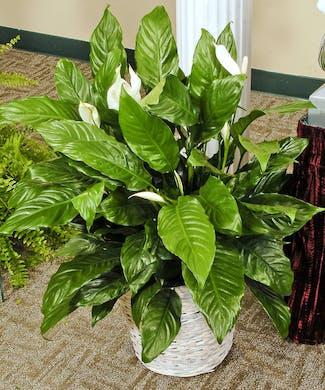 Cherish - Green Plant
